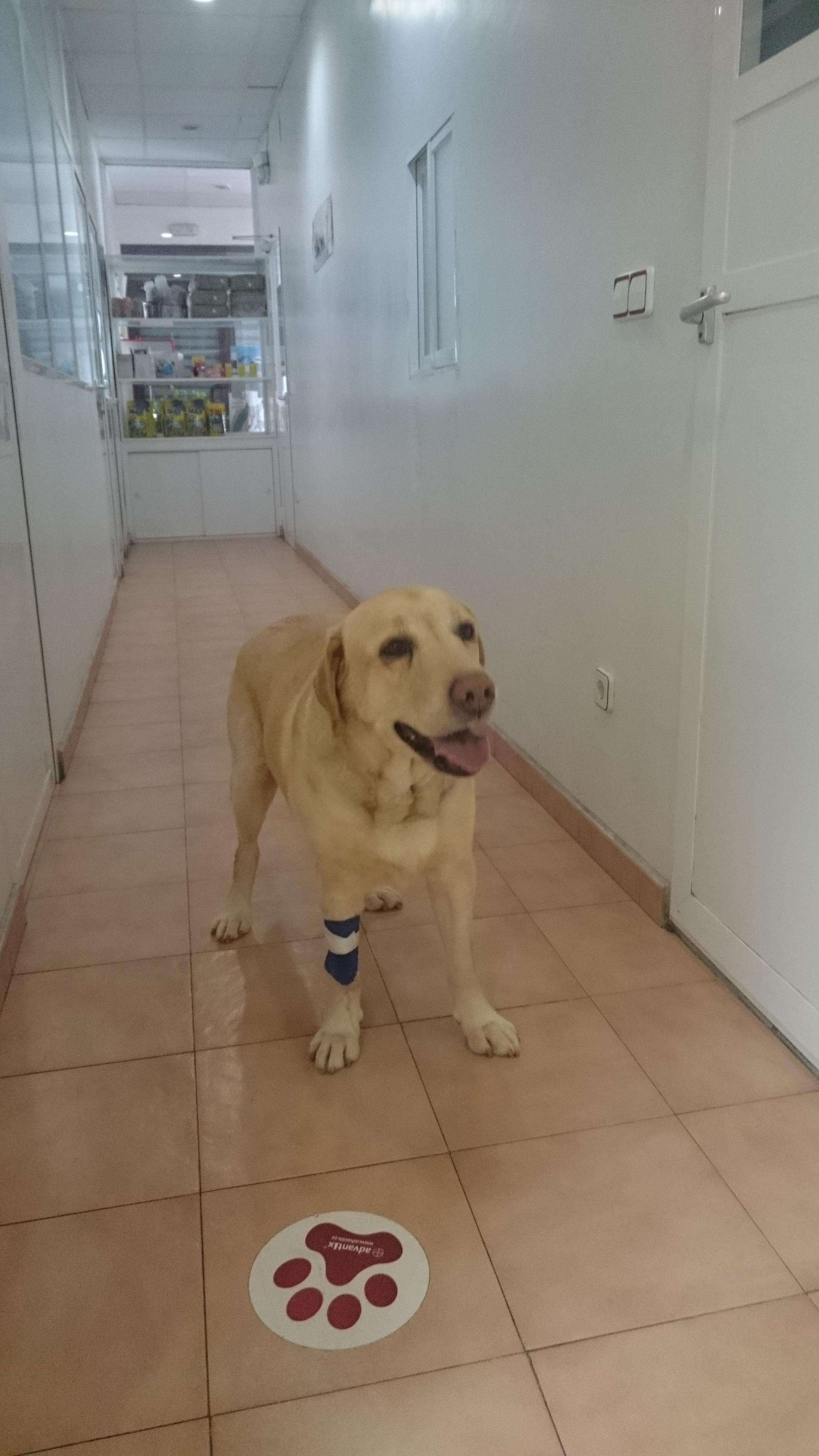 Dante, un perro de raza Labrador Retriever, se recupera después una ...